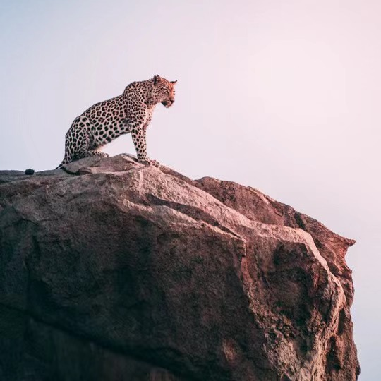 a leopard on a rock