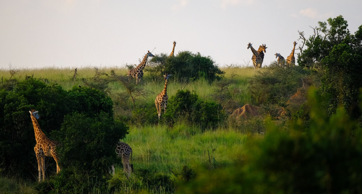 giraffes in the African wild